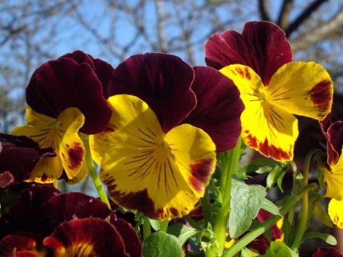 kwiatki...bratki...:) #wiosna #kwiaty #niebo #natura
