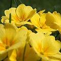 #Bralin #wiosna #kwiaty #bratki
