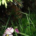 #kot #natura #przyroda #kwiaty #tulipan #bratek #trawa #zieleń