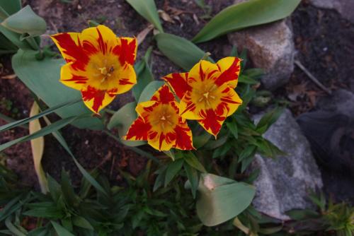 mój ogród #natura #ogród #kwiaty #wiosna