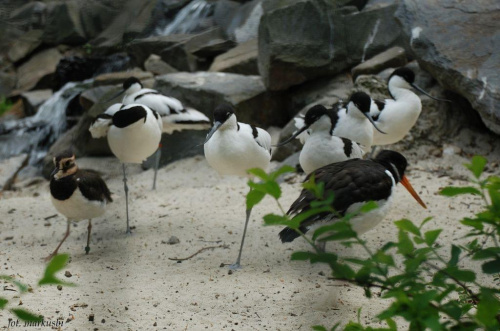 szablodzioby czajka oraz ostrygojad... #ptaki