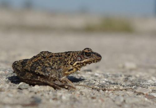 ciekawe skąd ten piasek na ryjku,.. #bagna #jeziora #natura #płazy #przyroda #rzeki #wiosna #żaba #żaby