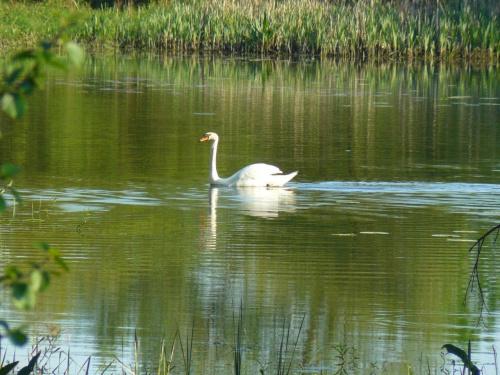 #natura #łabędź #zwierzęta #ptaki #woda