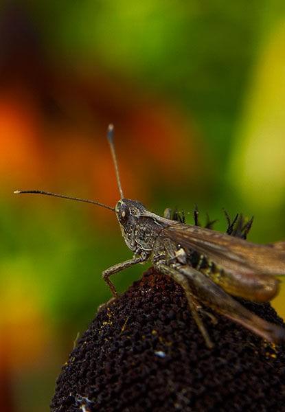 #KonikPolny #owad #łąka #lato #makro