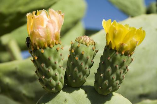 Kwiaty kaktusa...