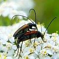 miłość w plenerze ;D #makro #owad #kózkowate #chrząszcz #lato