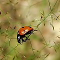 biedroneczka ;D #makro #owad #biedronka #chrząszcz