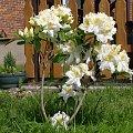 #kwiat #azalia