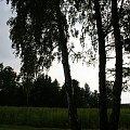 #drzewa #wierzby #lato