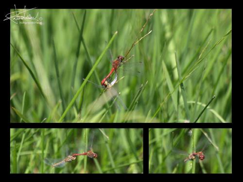 Ważki, Zalew Siemianówka, 08.2009 [Olympus E-410, Zuiko Digital Tele 70-300] #ważka #ważki #MiłośćFrancuska #natura #owad