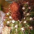 Pąki Notocactus Ottonis #notocactus #ottonis #pąki #pąk #kaktus #sukulent