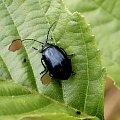 nastepny kandytat owadziej biżuterii #owad #makro #chrząszcz