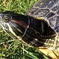 a to stały mieszkaniec mojego oczka.. żółw Filip #żółw #gad