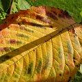 Jesienny Liśc #ogród #natura #rosliny #kwiatki #roslinność #roslinnosc #macro #piękno #działka #dojrzewanie #rozkwit #lato #wiosna #ciepło #owoce #drzewka #ogrod #zbiory #plony #OwoceNatury #wieś #wioska #ogródek #ogórek #ogór #woda