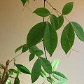 To co wyrosło z dużego ciemnobrązowego nasionka z Indii CO TO ZA ROŚLINA? Już wiem to entada rheedii. #idia #indie #pnącze #nasionko #roślina #egzotykaentada #rheedii