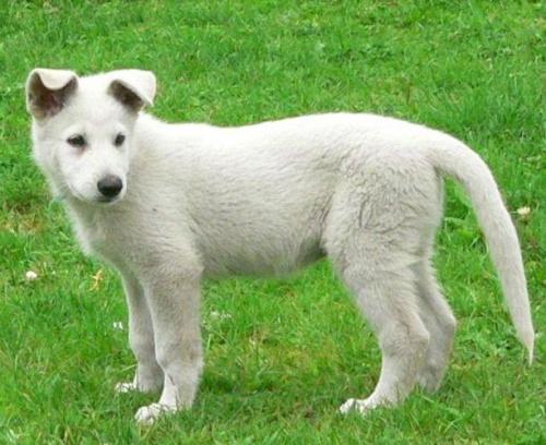 Mer Białe Wzgórza #BiałyOwczarekSzwajcarski #BOS #pies #psy #owczarki #szczenięta #hodowle