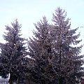 Świerki. #zima #Zima2009 #swierki #drzewa #natura #las #choinka #KowalewoOpactwo