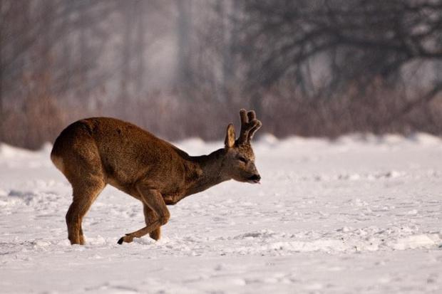 #Sarna #kozioł #zima #snieg #pole #zwierzę #zwierzęta #passiv #airking