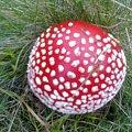 Muchomorek. #muchomor #grzyb #runo #las #grzybek #jeśeń #grzybobranie #czerwień #kropki #trawa