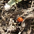 """""""Biedroneczki są w kropeczki i to chwalą sobie..."""" ;) #biedronka #owady #natura #wiosna"""