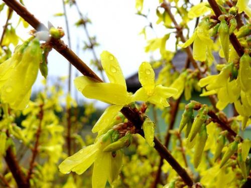 forsycje - wiosenny klimat #forsycja #forsycje #wiosna #deszcz #kropelki