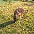 Owczarek niemiecki (Melcia) urosła już dużo od czerwca prawda. #pies #melcia #mela #owczarek #dog #niemiecki #OwczarekNiemiecki #zmiany #jesien #piesek #zabawa #suka #suczka #piesio #zęby #język #uszy #łapy