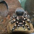 to jest Gienia :) niestety nie moja a Piotrusia który jest autorem zdjęcia :) #pająk #ptasznik #AcanthoscurriaGeniculata