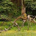 na starorzeczu.. #bagna #dąb #drzewo #konary #las #sroczewo