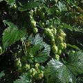 chmiel #chmiel #natura #pnącza #szyszki #przyroda #rośliny #liść
