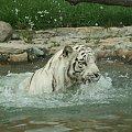 Biały tygrys #BiałyTygrysZwierzętaZooSafari
