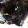 melan #kot #zwierze