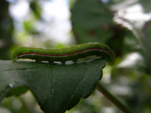 Stonoga(?).... #stonoga #owad #liść
