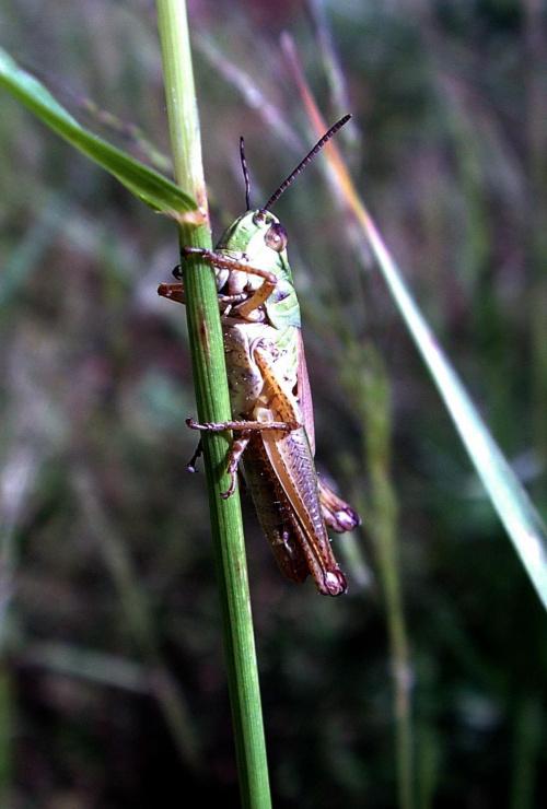 #owad #makro #natura #przyroda #świerszcz