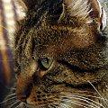 Romek #kot #koty #portret #zwierzę #natura #przyroda