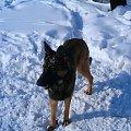 Piesek Melcia. Bystry wzrok. #melcia #melka #zima #pies #dog #suka #suczka #młody #szczeniak #mróz #snieg #zaspy #szalenstwo #szaleństwo #uszy #nos #piesek #gryzon #luty #piesio #owczarek #niemiecki #ogon #łapy #zabawa