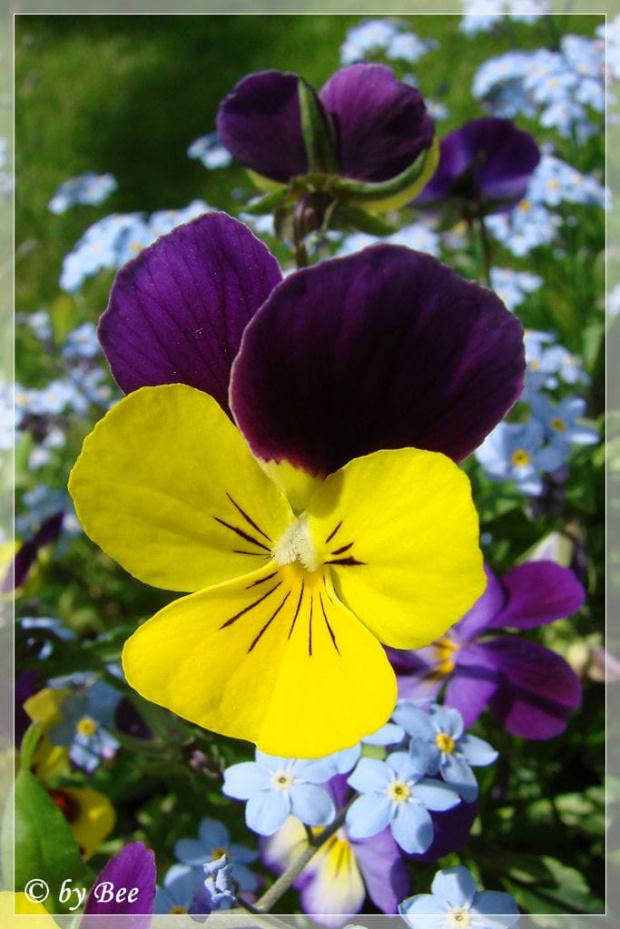 #bratki #kwiatki #ogród #wiosna