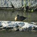 #natura #przyroda #zwierzęta #ptaki #kaczki #rzeka