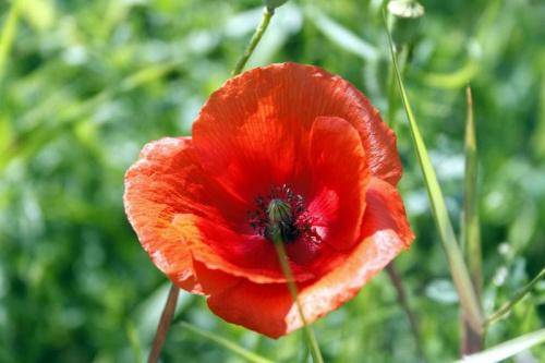 ...cisza jak makiem zasiał ;) #łąka #pole #maki #mak #natura #przyroda #owady #makro #kościół #BiałoCzarne #baszta #kwiaty #trawa