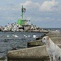 Górki Zachodnie,Ness na tle falochronu pełnego kormoranów #przeróbki #inaczej #Ness #labrador #falochron #GórkiZachodnie #morze #kormorany