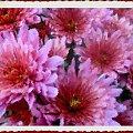 Pożegnać jesień ale inaczej #namalowane #chryzantemy #inaczej #kwiaty #jesień