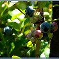 ...a w moim ogródku kolejne pyszności #owoce #WOgrodzie #borówka #jagody #krzewy